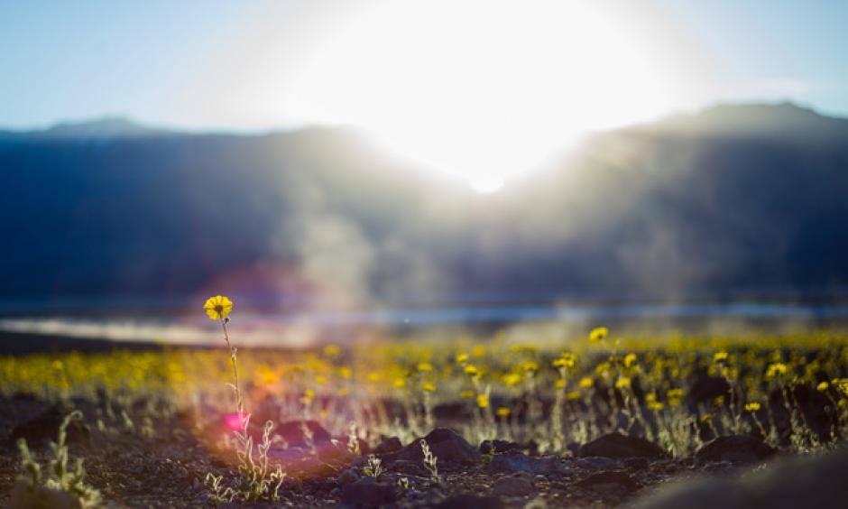"Wildflowers are shown along Badwater Road in Death Valley National Park, Calif., on Saturday, Feb. 27, 2016. The National Park Service said in a statement that the ""current bloom in Death Valley exceeds anything park staff has seen since the 2005. Some people are calling it a ""super bloom,"" which is not an official term."" Photo: Chase Stevens/Las Vegas Review-Journal"