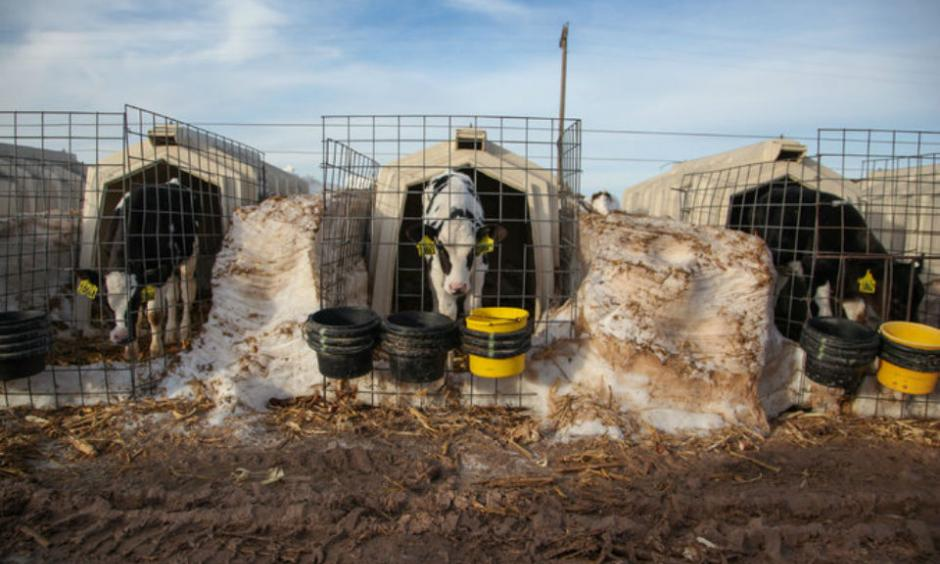 Dairy calves peered around snow piles at Dutch Road Dairy in Muleshoe, Tex., on Monday. The dairy lost 300 of its 2,200 cows during a blizzard that began on Dec. 26. Photo: Allison Terry, The New York Times