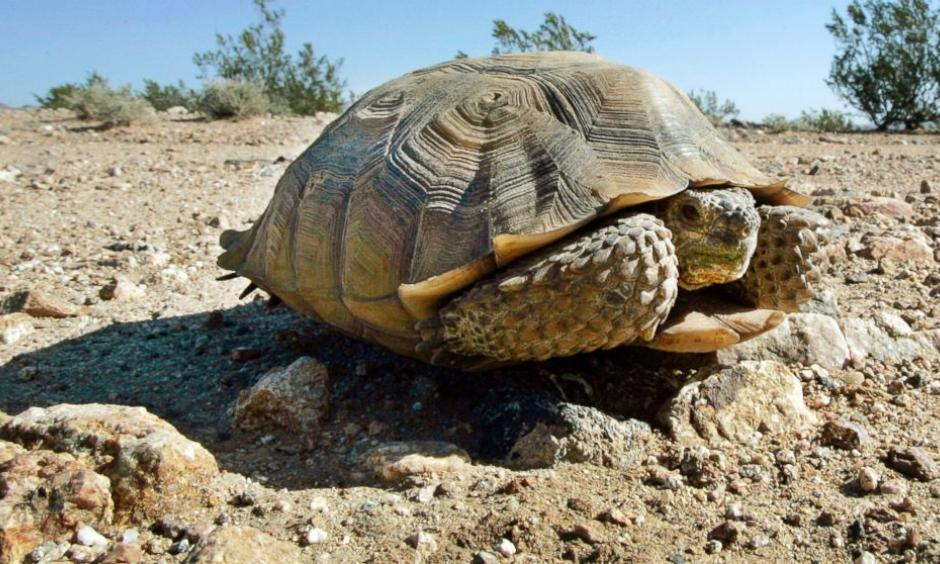 In this Sept. 3, 2008, file photo, an endangered desert tortoise sits in the middle of a road. Photo: Reed Saxon, AP