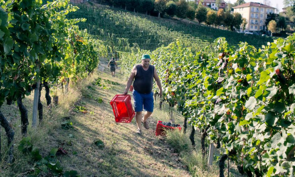 Donneschi Zvonko, 49, harvesting pinot nero grapes in Neive. Due to the high temperatures this year, the winemaker Castello di Neive has started harvesting the grapes three weeks earlier than usual. Photo: Alessandro Penso for The New York Times