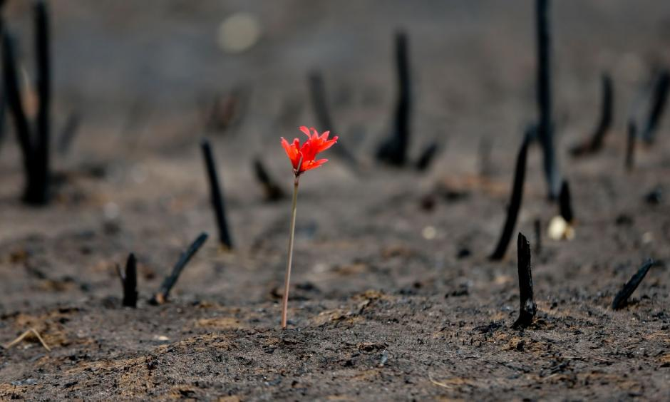 A flower shoots up through soot in a community razed by wildfires on Feb. 2nd, 2017. Photo: Esteban Felix, AP