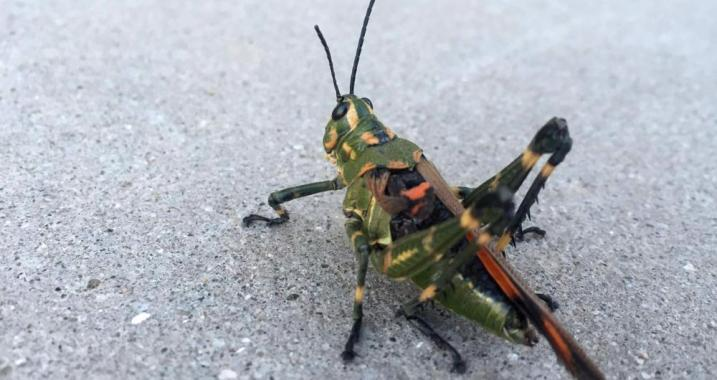 Climate Signals   In Argentina, a locust plague for the ages