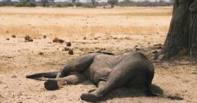 Dead elephant lays in the Hwange National Park, Zimbabwe. Credit: AP