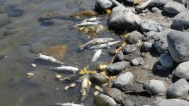 In recent days, officials have documented over 2,000 dead Mountain Whitefish on some stretches of the Yellowstone. Photo: CNN