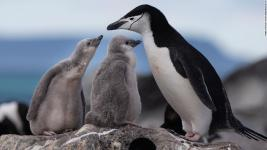 warmer oceans and sea ice decline from climate change are threatening penguins