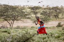 locust swarm climate change