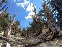 This July 11, 2017, photo shows gnarled, bristlecone pine trees in the White Mountains in east of Bishop, Calif. Limber pine is beginning to colonize areas of the Great Basin once dominated by bristlecones. The bristlecone pine, a wind-beaten tree famous for its gnarly limbs and having the longest lifespan on Earth, is losing a race to the top of mountains throughout the Western United States, putting future generations in peril, researchers said Wednesday, Sept. 13. Photo: Scott Smith, AP