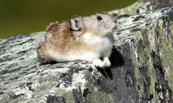 The collared pika, related to the rabbit, is listed as a 'special concern' on the Species At Risk list. Photo: John Nagy, Vancouver Sun