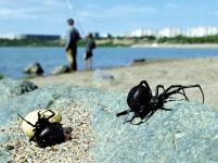 A pair of black widow spiders with an egg sack emerge from their spot on the banks of the Irtysh river near Pavlodar, Kazakhstan. The black widow spider's venom is 15 times stronger than a rattlesnake's. Photo: Stringer/Reuters
