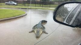 Heavy rains in Houston flushed this big gator out into the street in Fort Bend County. Photo: Major Chad Norvell, Fort Bend County Sheriff