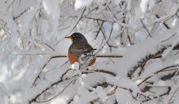 A robin perches among the snow-covered branches along West Tollgate Creek in Denver's Pioneer Park on March 27, 2018. Photo: Steve Nehf, The Denver Post