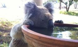A koala drinks from a bird bath at a rural property in Gunnedah, Australia, in this recent undated handout image. Photo: Kate Wilson, Handout via REUTERS