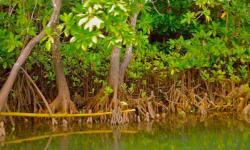 Photo: mangrovesforfiji.com