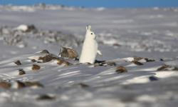 A snowshoe hare stands near Thule air base in Pituffik, Greenland. Photo: Mario Tama, Getty Images