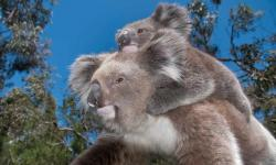 These iconic animals aren't dying out. Photo: Minden Pictures/Alamy