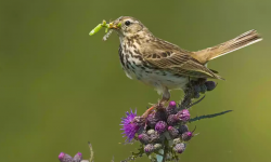 Meadow pipit have disappeared from sites in the south of England. Photo: Alamy Stock Photo