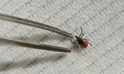 A deer tick is removed from fabric for later study. Lyme disease cases in Maine began increasing in 2007 and for the most part have risen steadily.