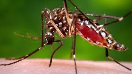 This 2006 file photo provided by the Centers for Disease Control and Prevention shows a female Aedes aegypti mosquito in the process of acquiring a blood meal from a human host. The Aedes aegypti mosquito is behind the large outbreaks of Zika virus in Latin America and the Caribbean. Photo: James Gathany, Centers for Disease Control and Prevention, Associated Press