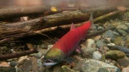 Pacific salmon numbers are expected to decline over the next three years due to unusual ocean temperatures. Photo: Johathan Hayward / Canadian Press