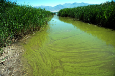In this June 12, 2018, file photo, a potentially toxic blue-green algae bloom in Provo Bay in Provo, Utah. Researchers and officials across the country say increasingly frequent toxic algae blooms are another bi-product of global warming. They point to looming questions about their effects on human health. Photo: Rick Egan, The Salt Lake Tribune via AP