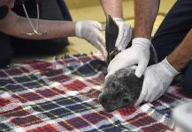 A sickly seal pup is examined at California's Pacific Marine Mammal Center during the last big marine heat wave in the region, in 2015. During that ocean heat wave, a record numbers of starving baby sea lions also washed ashore. Now another is building off the coast. Photo: Robyn Beck, AFP/Getty Images